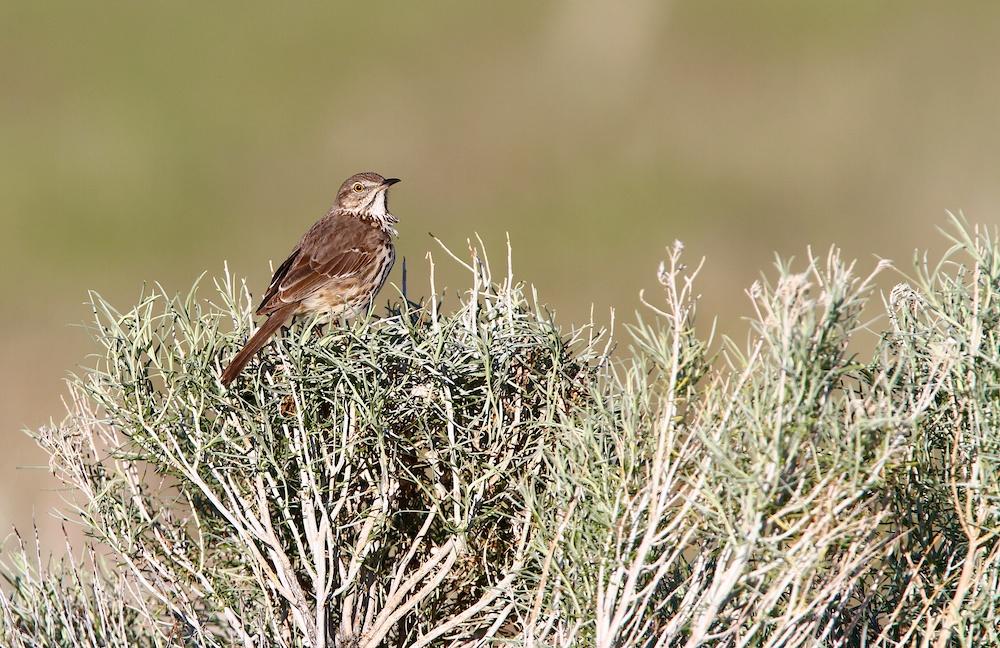 Moqueur des armoises+Sage Thrasher+Oreoscoptes montanus+Antelope Island+Utah