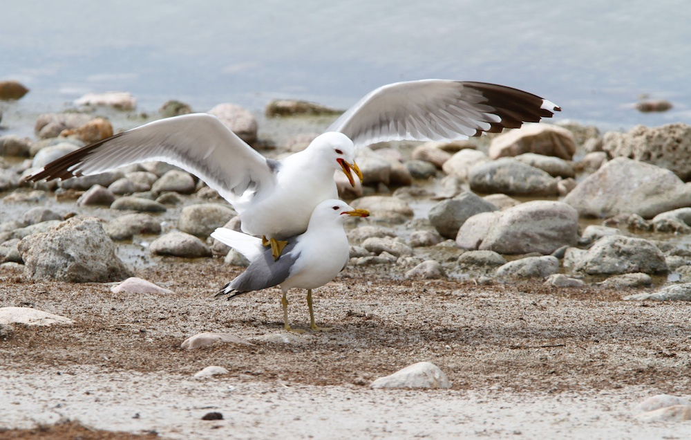 Goeland de Californie+accouplement+California gull+mating+Larus californicus+Antelope Island+Utah