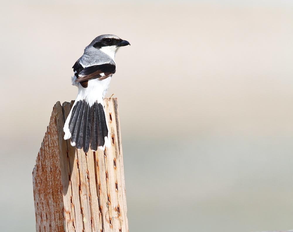 Pie-grieche migratrice+Loggerhead Shrike+Lanius ludovicianus+Antelope Island+Utah