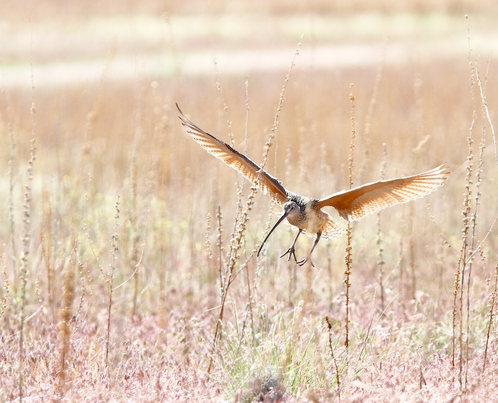 Courlis a long bec+Long-billed Curlew+Numenius americanus+Antelope Island+Utah