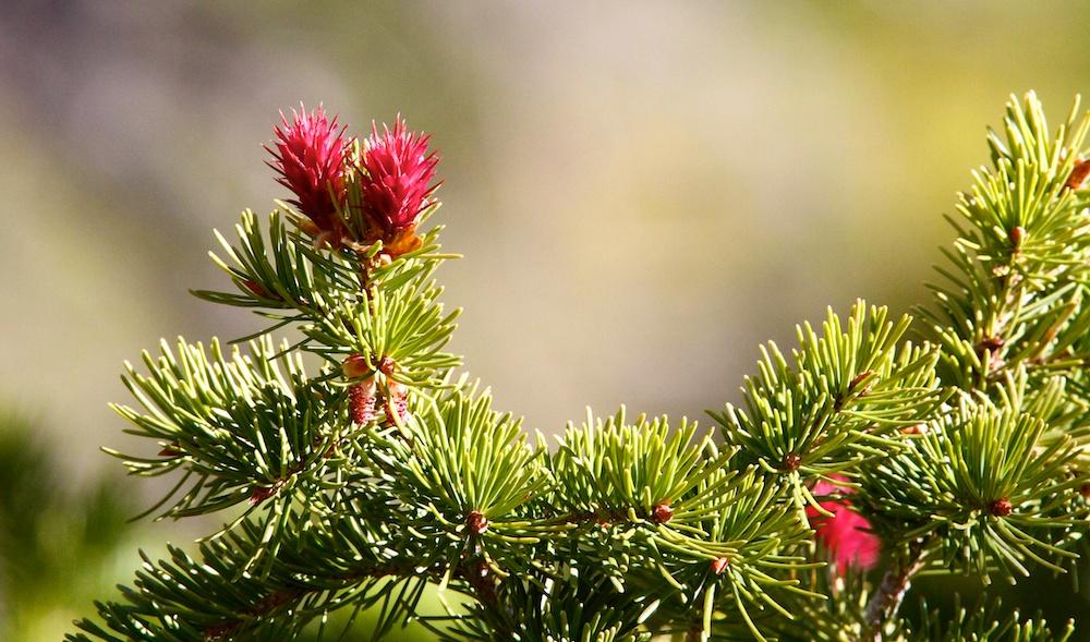 Cone Douglas fir