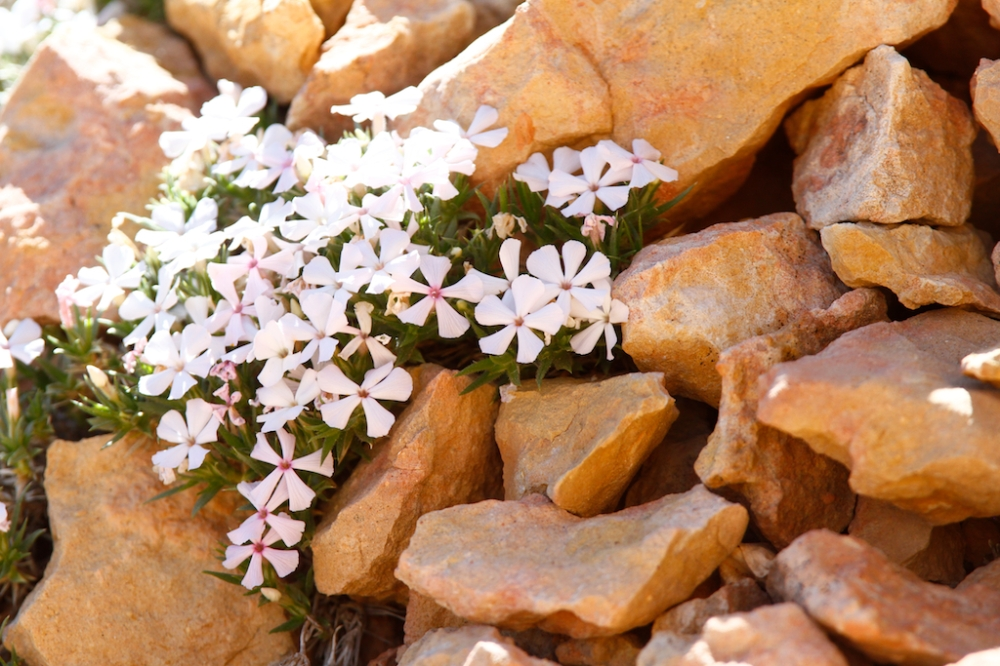 Red Canyon phlox