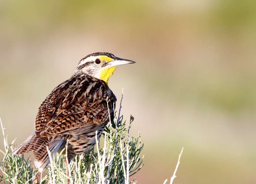 Sturnelle de l'Ouest+Western Meadowlark+Sturnella neglecta+Antelope Island+Utah
