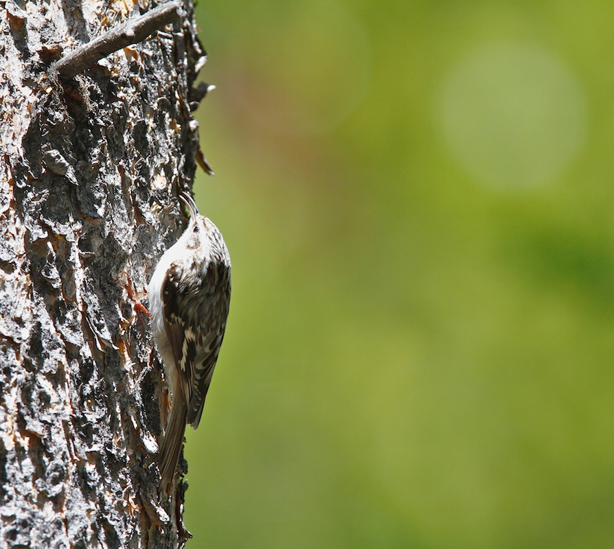 Grimpereau brun+Brown Creeper+Certhia americana