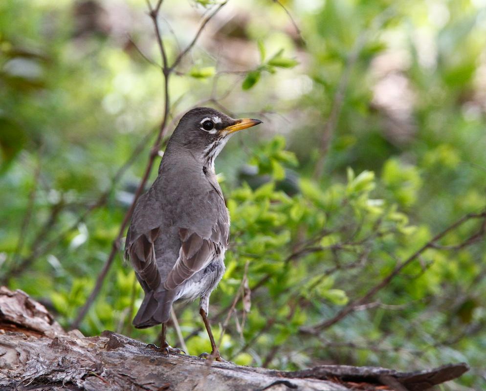 Merle d'Amérique+American Robin+Turdus migratorius