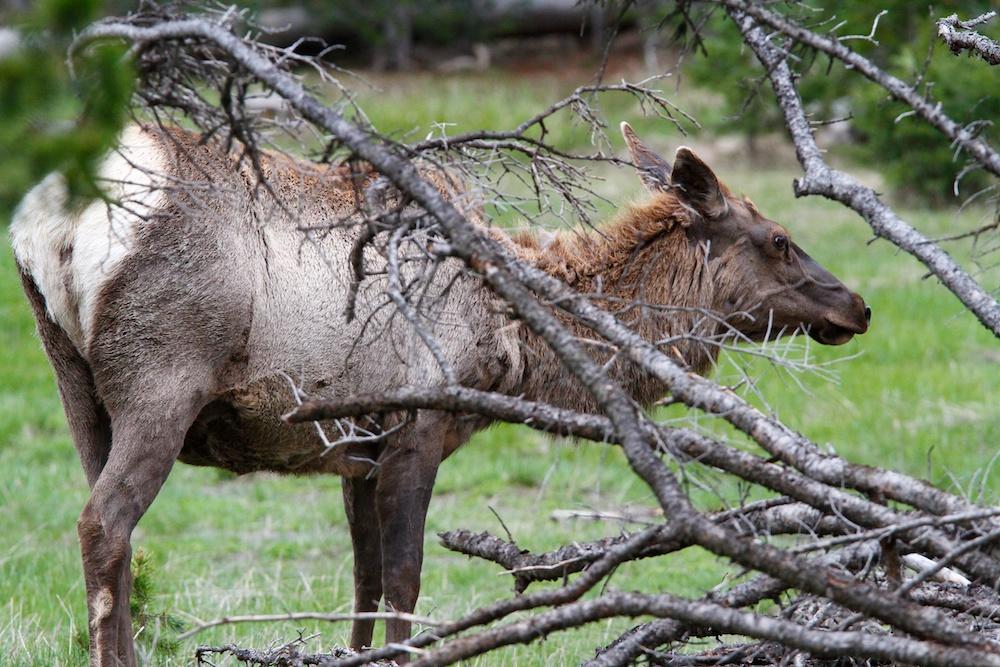 Wapiti+Elk+Cervus canadensis
