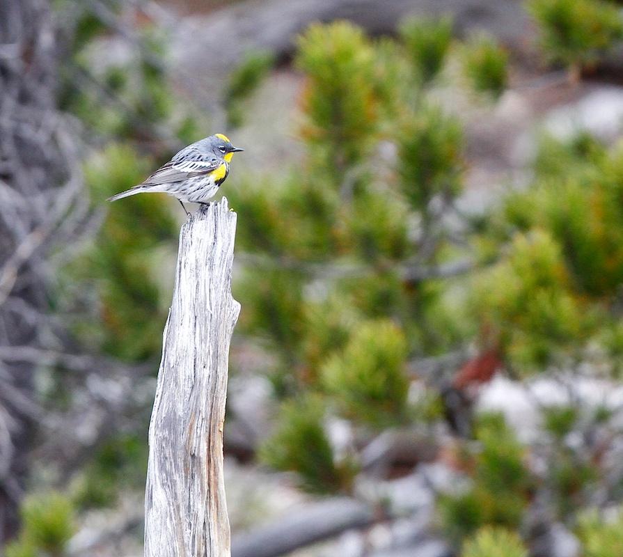 Paruline d'Audubon+Audubon's warbler+Setophaga auduboni