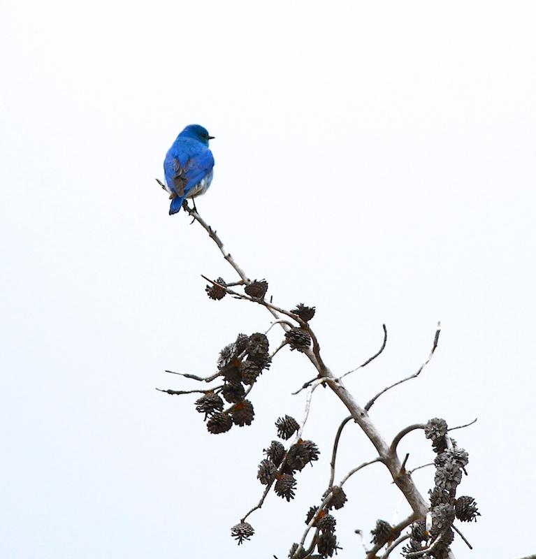Merlebleu azure+Mountain bluebird+Sialia currucoides