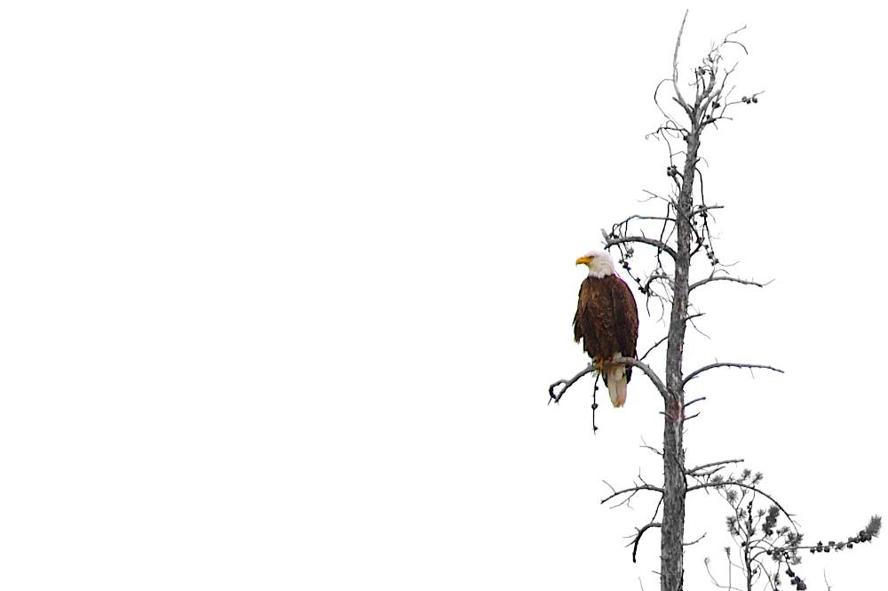 Pygargue a tete blanche (Bald eagle+Haliaeetus leucocephalus