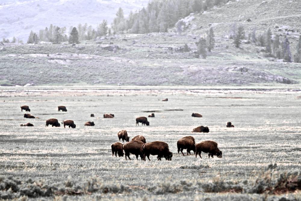 Bisons d'Amérique du Nord (American bison, Bison bison), Yellowstone National Park, Wyoming