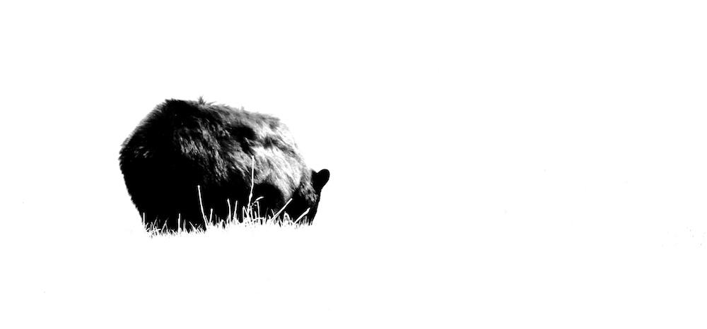 ours noir+Black bear+Ursus americanus