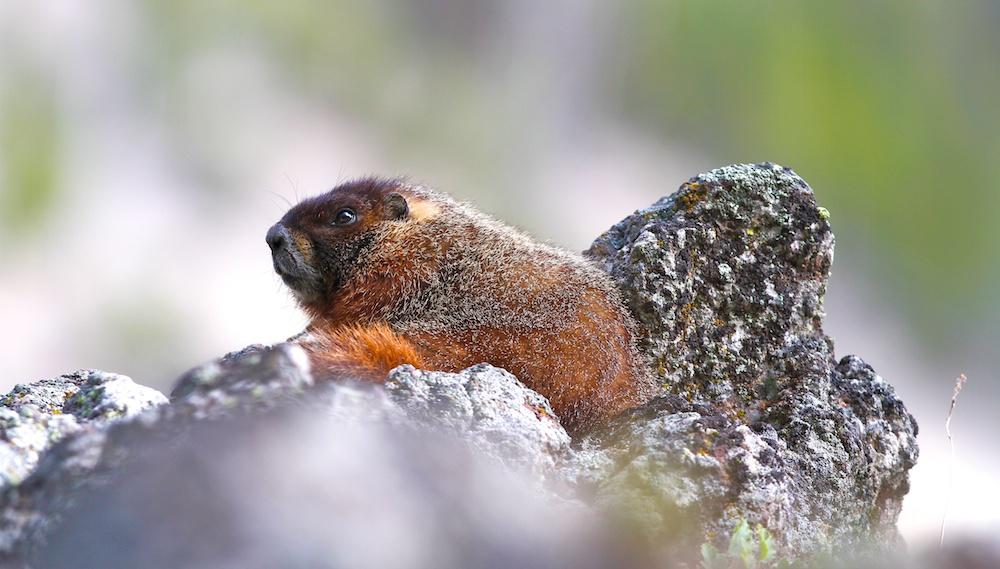 Marmotte a ventre jaune+Yellow-bellied marmot+Marmota flaviventris