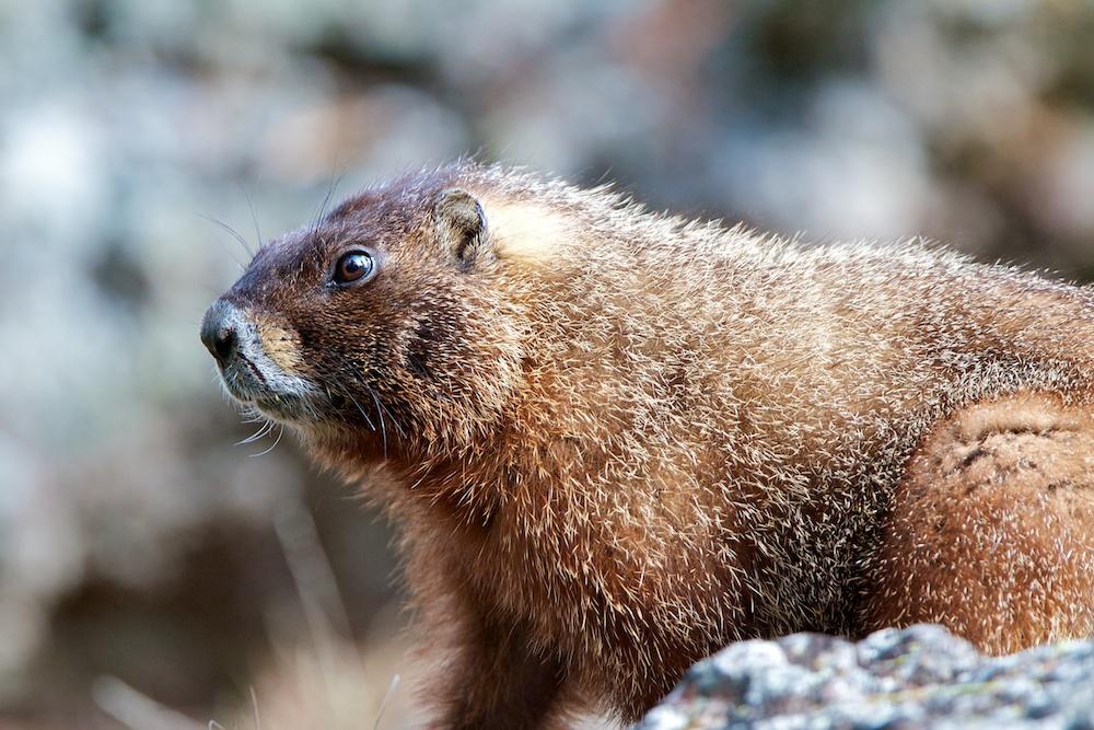 Marmotte a ventre jaune+Yellow-bellied marmot+Marmota flaviventris+Yellowstone