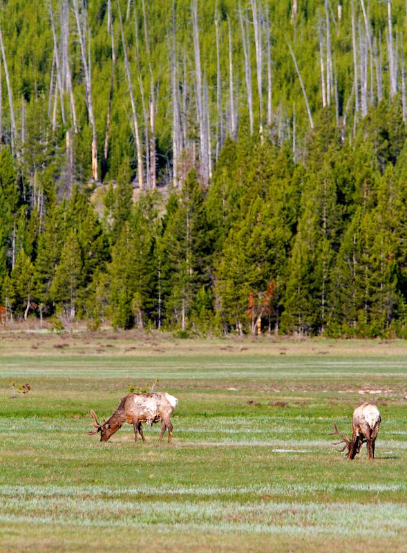 Wapiti+Elk+Cervus canadensis+Yellowstone
