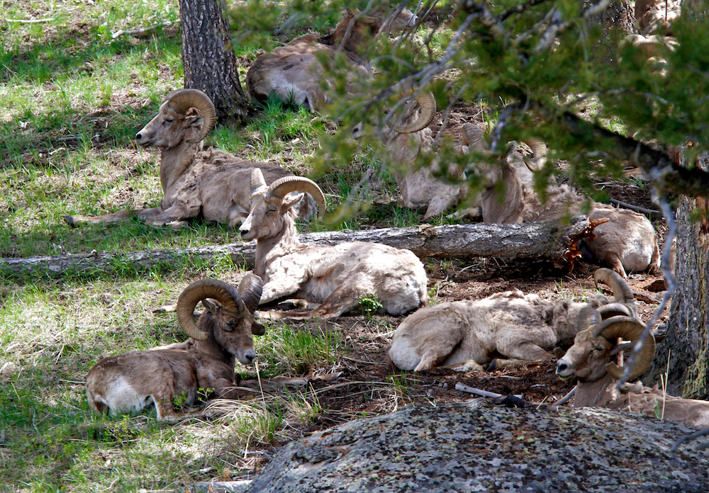 Mouflons canadiens+Big Horns+Ovis canadensis+Yellowstone