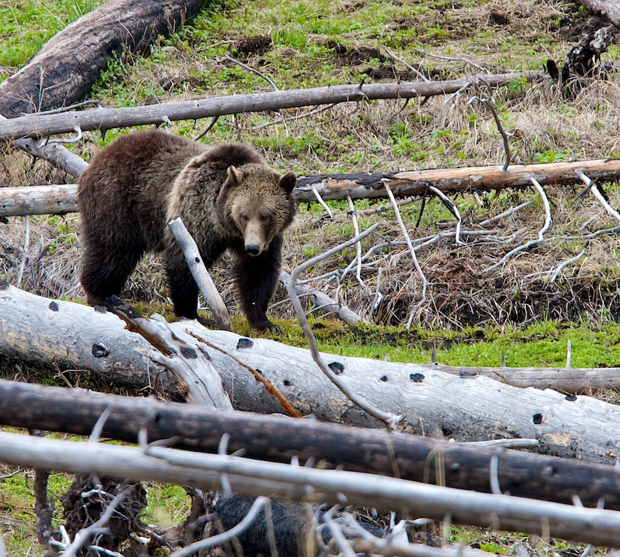 Grizzli+Grizzly+Ursus arctos horribilis+Yellowstone+Faune