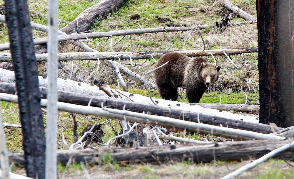 Grizzli+Grizzly+Ursus arctos horribilis+Yellowstone