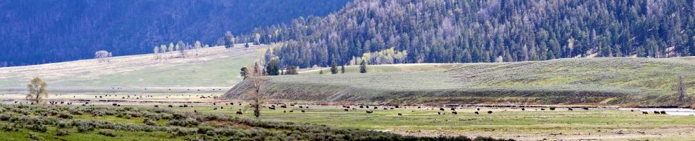 Bison+Montana