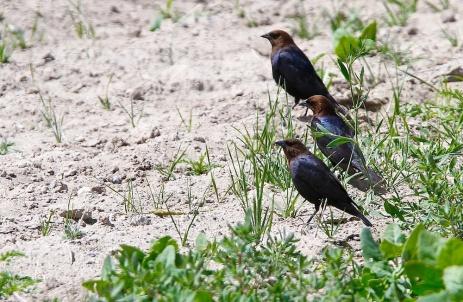 Vacher a tete brune+Brown-headed Cowbird+Molothrus ater+Nevada+Faune+Wildlife