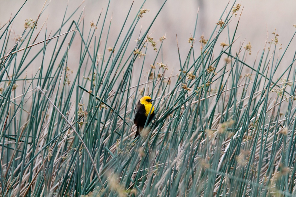 Carouge a tete jaune+Yellow-headed Blackbird+Xanthocephalus xanthocephalus+Stillwater National Wildlife Refuge+Nevada+Faune+Wildlife