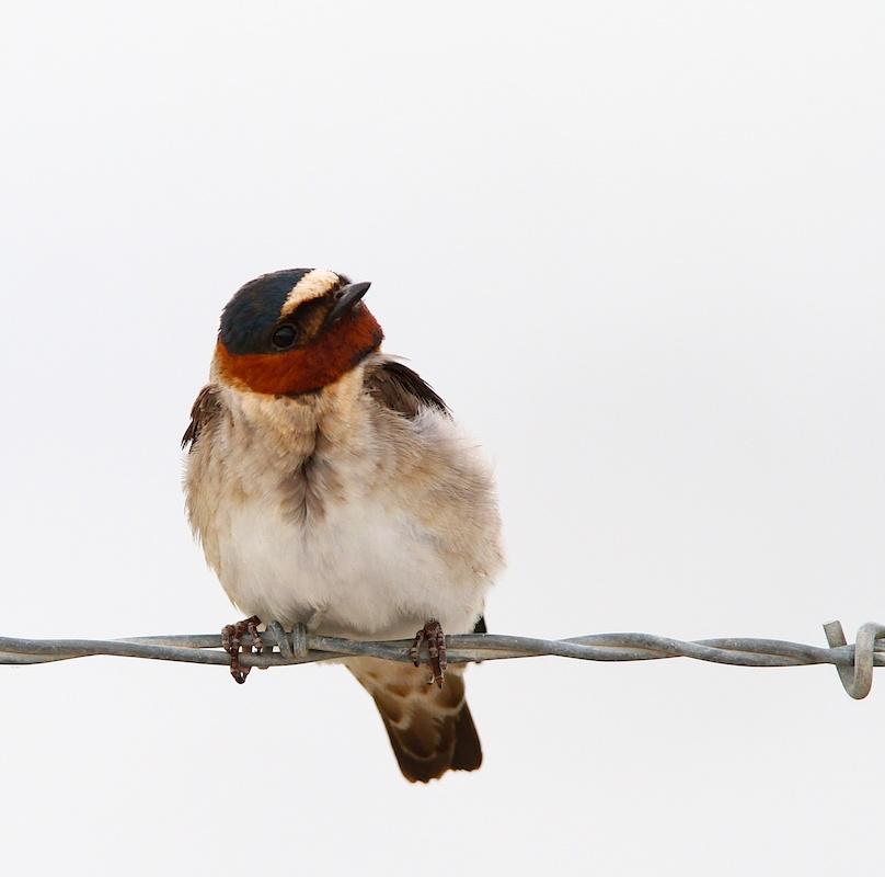 Hirondelle a front blanc+American Cliff Swallow+Petrochelidon pyrrhonota+faune+wildlife+Nevada
