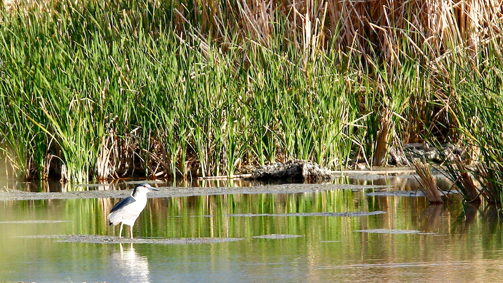 Bihoreau gris+Black-crowned Night Heron+Nycticorax nycticorax+Stillwater National Wildlife Refuge+Nevada+Faune+Wildlife