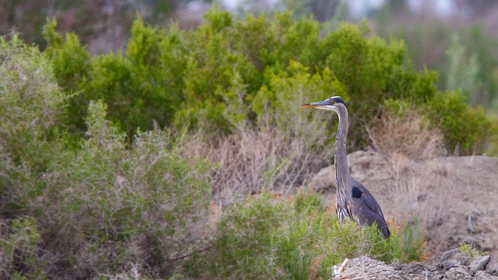 Grand Heron+Great Blue Heron+Ardea herodias)+Stillwater National Wildlife Refuge+Nevada+Faune+Wildlife