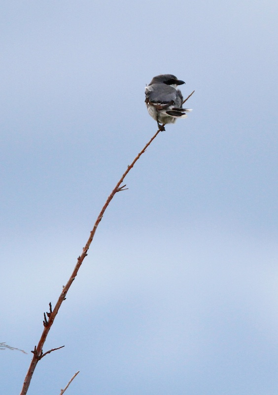 Pie-grieche migratrice+Loggerhead Shrike+Lanius ludovicianus+Stillwater National Wildlife Refuge+Nevada+Faune+Wildlife