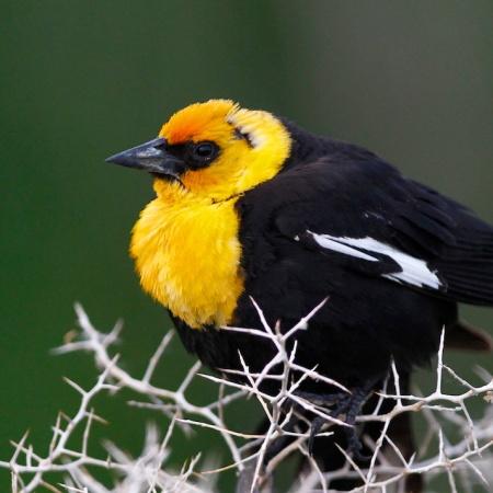 Carouge a tete jaune+Yellow-headed Blackbird+Xanthocephalus xanthocephalus+Stillwater National Wildlife Refuge+Nevada+Faune+Wildlife