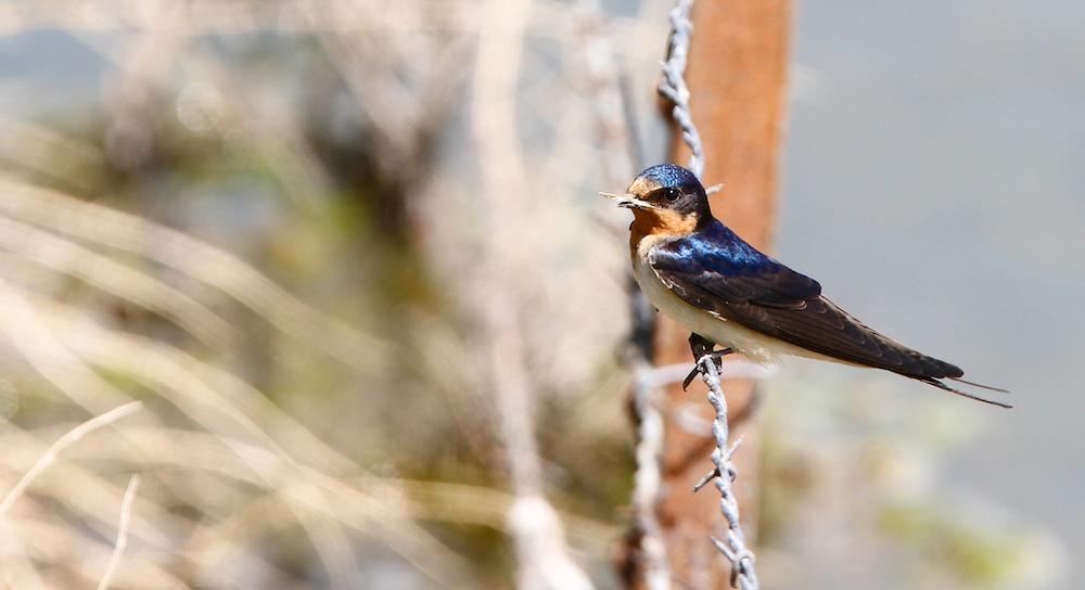 Hirondelle rustique+Barn swallow+Hirundo rustica+Nevada+Faune+Wildlife