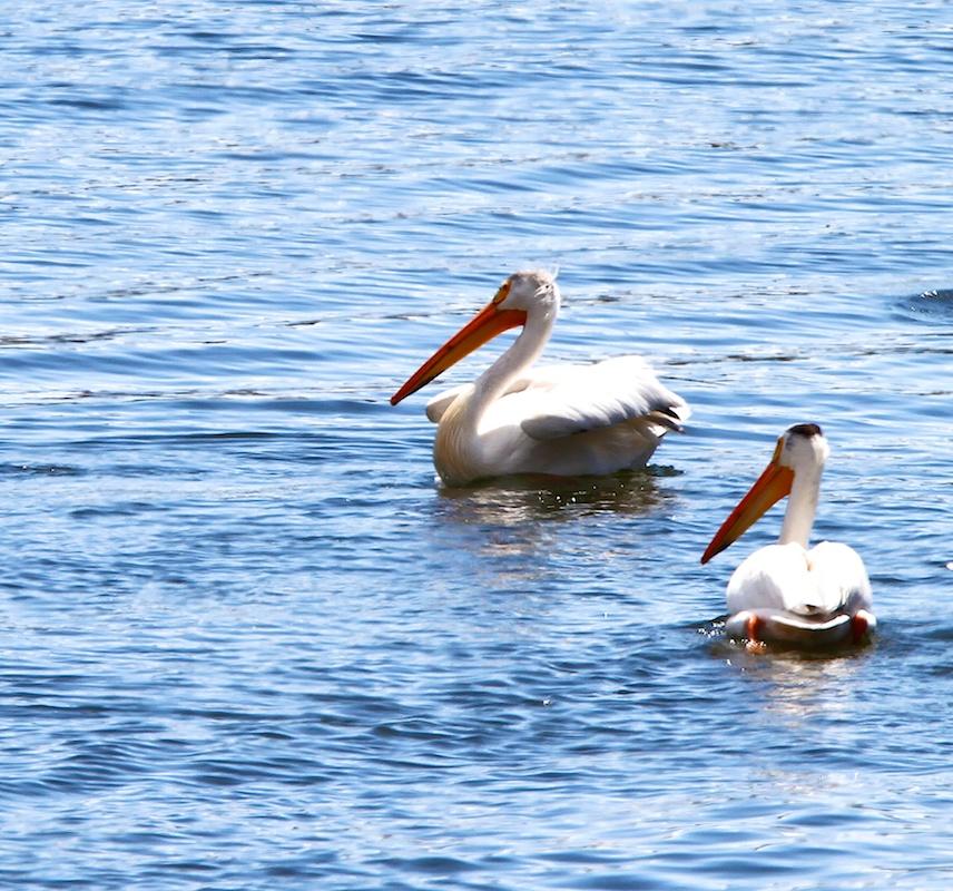Pelicans d Amerique+American White Pelican+Pelecanus erythrorhynchos+Bridgeport Reservoir+Californie