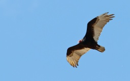 Urubu a tete rouge+Turkey Vulture+Cathartes aura+Bridgeport Reservoir+Californie