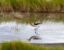Avocette d Amerique+American Avocet+Recurvirostra americana+Stillwater National Wildlife Refuge+Nevada