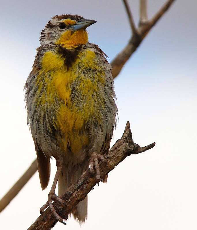 Sturnelle de l Ouest+Western Meadowlark+Sturnella neglecta+Stillwater National Wildlife Refuge+Nevada