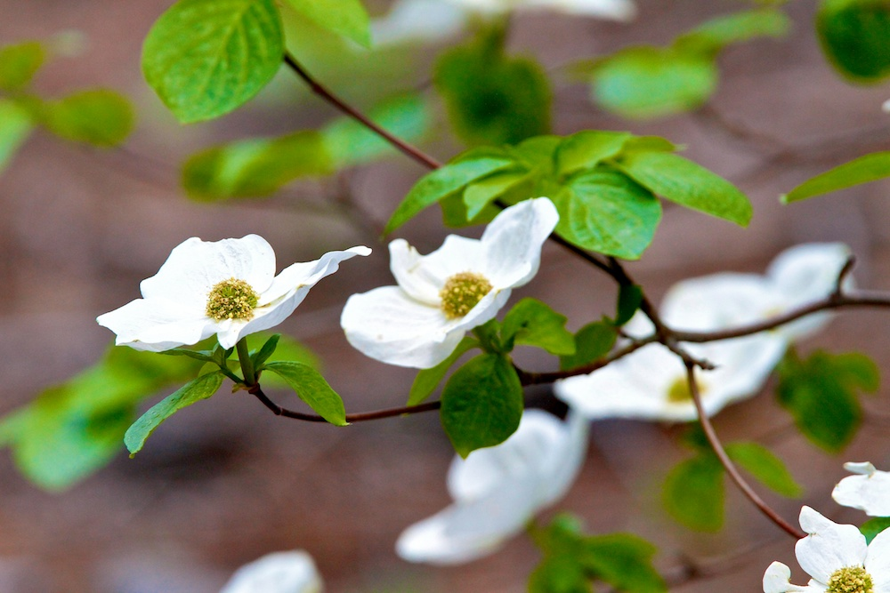 Cornouiller du Pacifique, Mountain Dogwood, Cornus nuttallii, Yosemite