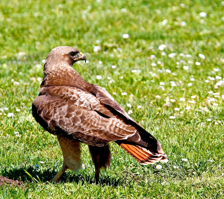 Buse à queue rousse, Red-tailed hawk, Buteo jamaicensis, San Fransciso, Californie
