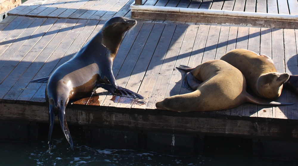 Otaries de Californie, California sea lions, Zalophus californianus, San Francisco