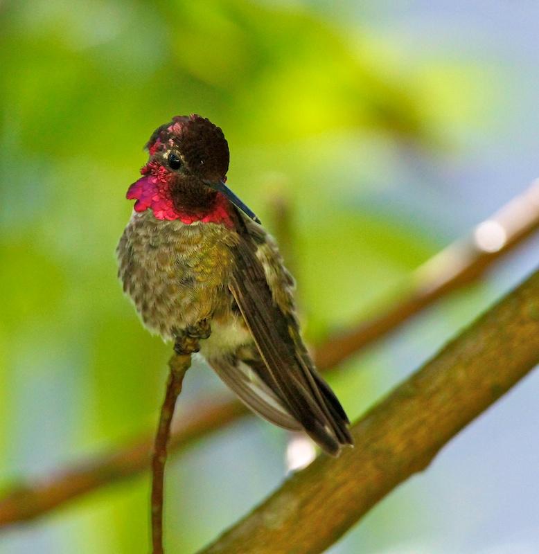 Colibri d'Anna, Anna's Hummingbird, Calypte anna, San Francisco botanical garden, Californie