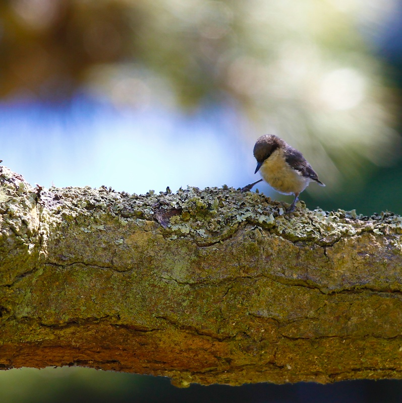 Sittelle pygmée, Pygmy Nuthatch, Sitta pygmaea, San Francisco botanical garden, Californie