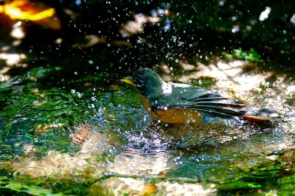 Merle d'Amérique, American robin, Turdus migratorius, San Francisco botanical garden, Californie