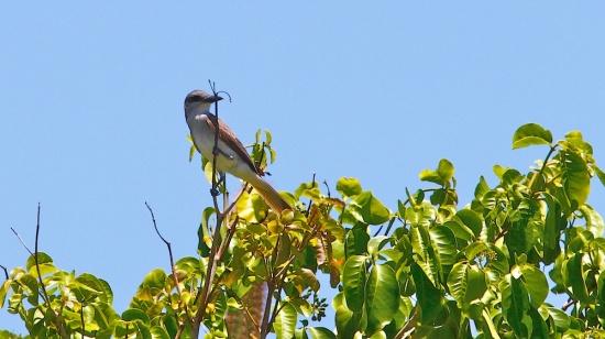 Tyran gris, Grey Kingbird, Tyrannus dominicensis, Savane des pétrifications, Martinique