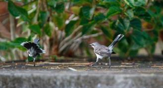 Moqueur des savanes, Tropical Mockingbird, Mimus gilvus, Martinique