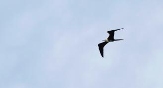 Frégate superbe, Magnificent Frigatebird, Fregata magnificens, Martinique