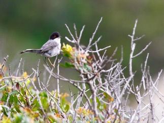 Fauvette mélanocéphale, Sardinian warbler, Sylvia melanocephala, Torre di Piscinni, Domus de Maria, Sardaigne, Sardinia, Sardegna