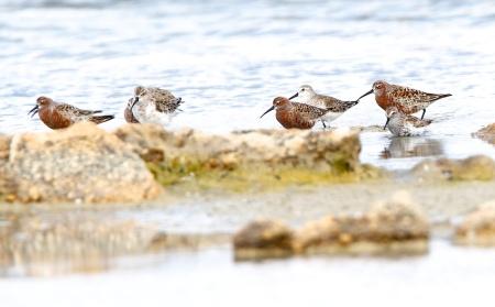 Bécasseaux cocorli, Curlew Sandpiper, Calidris ferruginea, Spiaggia Le Saline, Sardaigne, Sardinia, Sardegna