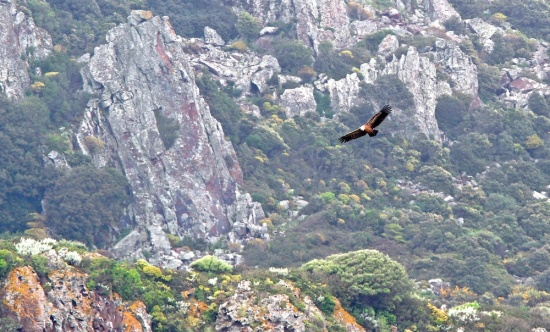 Vautour fauve, Griffon Vulture, Gyps fulvus, Nord de Bosa, Sardaigne,Sardinia, Sardegna