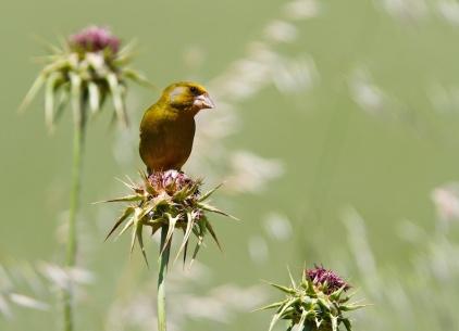 Verdier d'Europe, European greenfinch, Chloris chloris, Porto Pino, Sardaigne, Sardinia, Sardegna