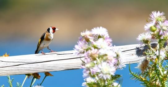 Chardonneret élégant, European goldfinch, Carduelis carduelis, Torre di Chia, Domus de Maria, Sardaigne, Sardinia, Sardegna
