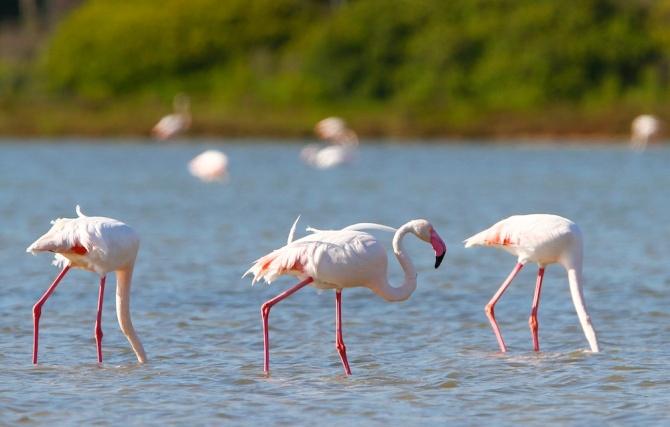 Flamants roses, Greater Flamingo, Phoenicopterus roseus, Stangioni de Su Sali, Chia, Domus de Maria, Sardaigne, Sardinia, Sardegna