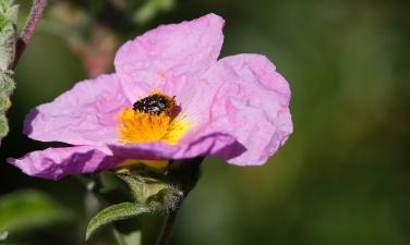 Cétoine grise, Oxythyrea funesta, ciste de Crête, Pink rock-rose, Cistus creticus, Monte Arcosu, Sardaigne, Sardinia, Sardegna